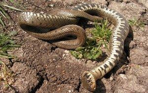 significado-sonar-serpientes-viboras-muertas
